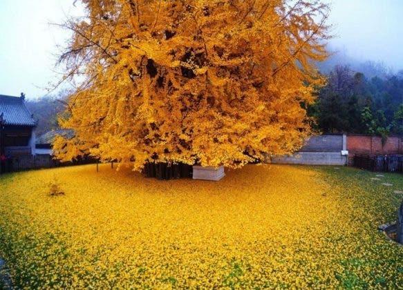 conheça árvore rara que derrama um manto dourado sobre suas raizes