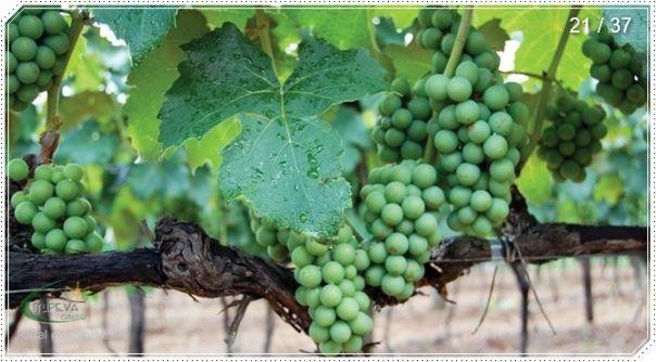 Tipos de Vinho Branco