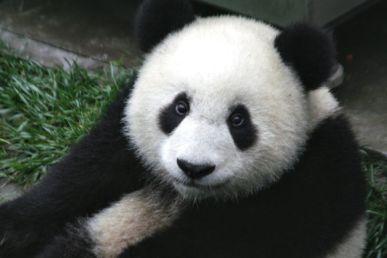 Animais: Urso Panda